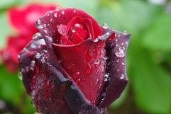 rosa (4)